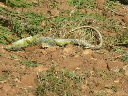 Des Lézards ocellés détruits sans autorisation à Saint-Gilles : NACICCA porte plainte
